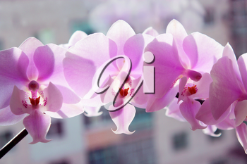 beautiful branch of a blossoming pink orchid