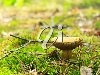 beautiful mushroom of Boletus badius in the moss