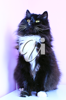 black cat with white tie sits and looks up on the pink background