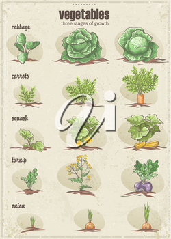 Royalty Free Clipart Image of a Vegetable Chart Showing Stages of Growth