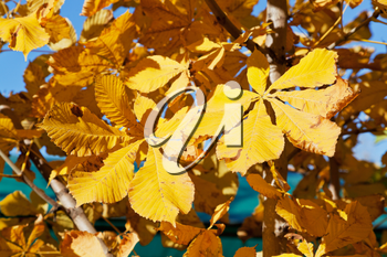autumn leaves of horse chestnut tree in sunny day close up