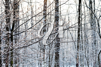frost on ash tree branches in winter forest