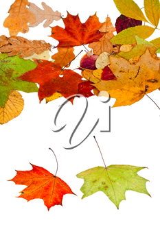 two maple and many autumn leaves isolated on white background