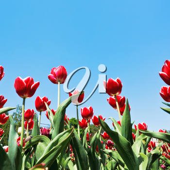 bottom view of decorative red tulips on flowerbed on blue sky background