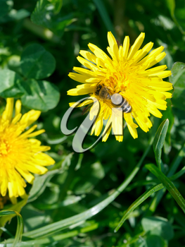 bee collecting blossom dust from yellow dandelion flower close up on summer meadow