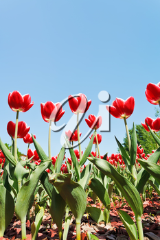 bottom view of many decorative red tulips on flower bed on blue sky background
