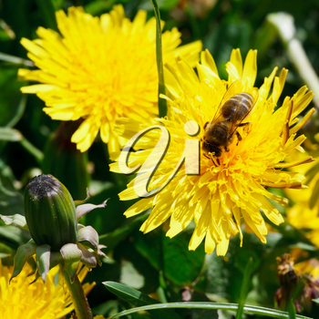 bee eating nectar on yellow dandelion flower close up on summer meadow