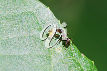 ant grazing one aphid on leaf of walnut tree close up