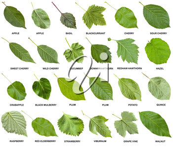 collage from green leaves of trees and shrubs with names isolated on white background