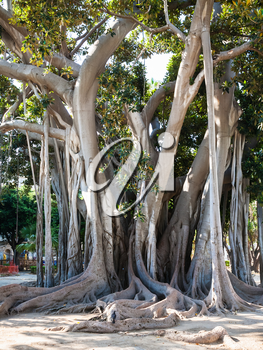 PALERMO, ITALY -JUNE 24, 2011: oldest tree in Palermo city in urban garden Giardino Garibaldi on Piazza Marina is Palermo. This is ficus macrophylla tree 25m-high, 150-year-old