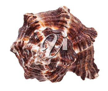 helix dark brown seashell of mollusk isolated on white background