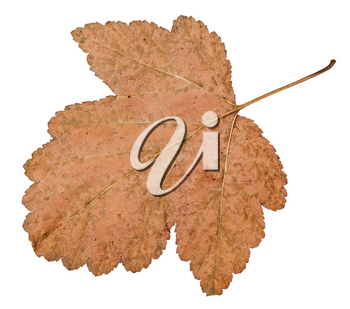back side of dried leaf of viburnum tree isolated on white background