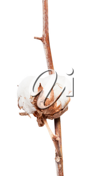 boll with cottonwool of cotton plant on branch isolated on white background