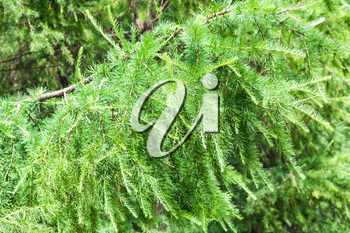 natural background - fresh green branch of larch tree in forest in summer