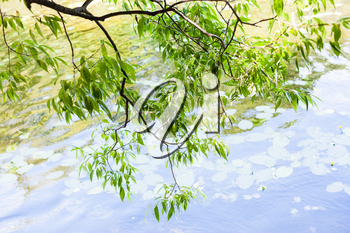 green branch of willow tree over forest pond in summer day