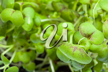natural background - leaves of green sprouts of mustard cress close up