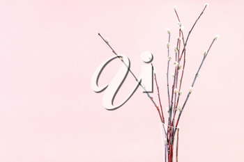 pussy willow sunday (palm sunday) feast concept - bunch of downy pussy-willow twigs on pink pastel background with copyspace
