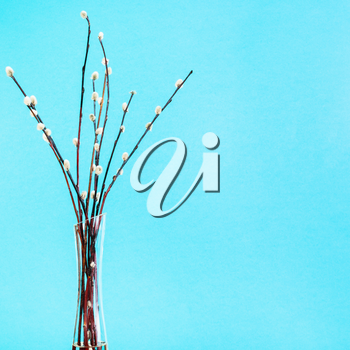 pussy willow sunday (palm sunday) feast concept - bundle of downy pussy-willow twigs in glass vaze on aquamarine pastel background with copyspace