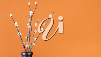 pussy willow sunday (palm sunday) feast concept - downy pussy-willow twigs in ceramic bottle on orange brown pastel panoramic background with copyspace