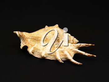 Seashell on a background of black cloth.