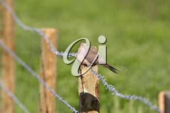 Mourning Dove perched on wire