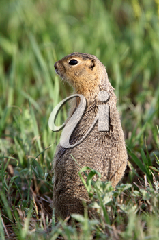 Richardson Ground Squirrel looking for danger