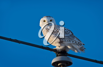 Snowy Owl on Pole Winter in Saskatchewan