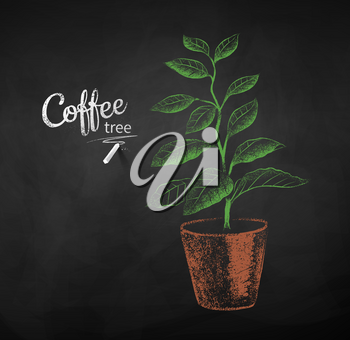 Vector chalk drawn sketch of coffee tree sprout in pot on chalkboard background.