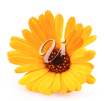 Marigold - Calendula Officinalis Isolated On White Background