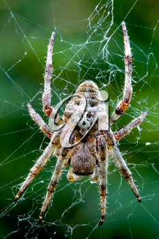 close up of a spider Araneus Angulatus