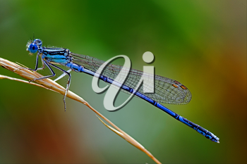 a little blue Coenagrionidae dragonfly