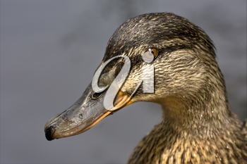 a close up of little a brown duck