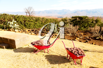 in lesotho africa the wheelbarrow near plant and cactus like nature concept