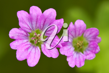 macro close of  a violet pink lavatera arborea malvacee in green background