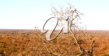 in south africa old tree and his branches in the clear sky like abstract background