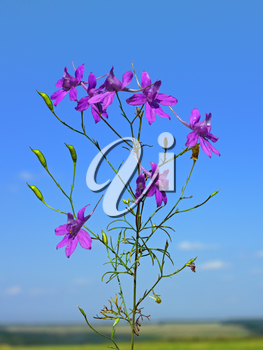 Beautiful violet flowers on the background of blue sky, sunny summer day