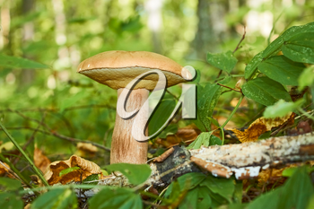 Edible cep mushrooms (Boletus edulis) growing on a forest glade in a sunny summer day
