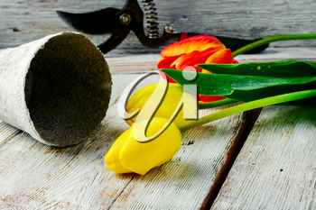 bouquet of cut tulips and garden tools