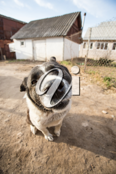 A dog with interest looks into the camera. Portrait with wide angle