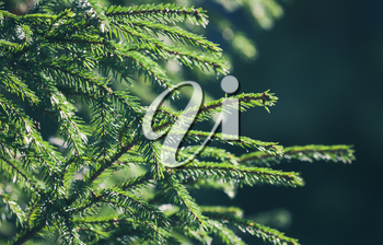 Fresh green spruce branches background. Close up photo with soft selective focus