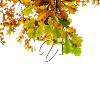 Yellow and green oak tree leaves isolated over white background, autumn season natural photo. Closeup square shot with selective focus
