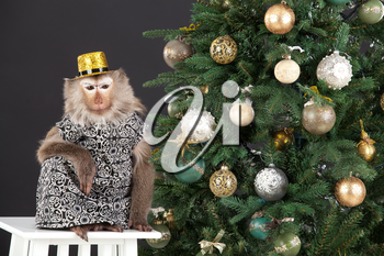 Little monkey sitting near the New Year's tree on a studio background