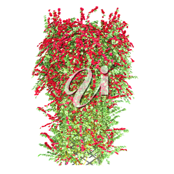 Curly on the arch red roses on a white background. Ivy winds grid pergola