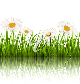 Green grass lawn with white chamomiles and reflection on white background. Floral nature flower background