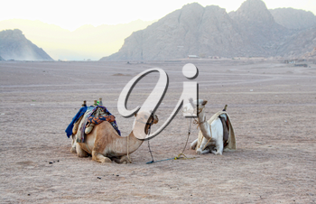 Two lonely camels in desert