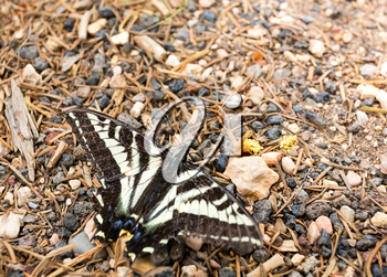 Close up of black and white butterfly on the ground in a pine forest.