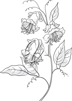 Flowers kobe, petals and leaves, monochrome contours. Vector