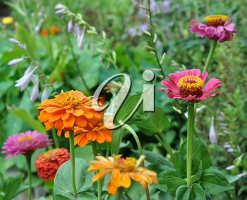 Flowers, Zinnia with green leaves. Summer, Central Russia