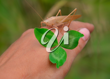 Grasshopper on hand with clover