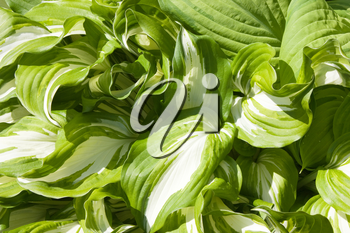 Hosta plant with bright leaves, white and green